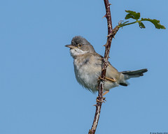 White throat : Sylvia communis (Jerry Hawker) Tags: bird flying somerset perched whitethroat sylviacommunis somersetlevels hamwall rspbhamwall jerryhawker