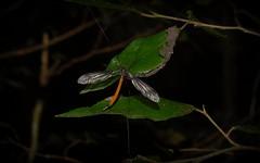 Crane Fly (dustaway) Tags: nature australia arthropoda rotarypark lismore cranefly genus diptera insecta tipulidae northernrivers australianinsects