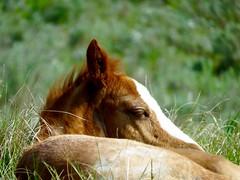 Sleepy wild foal (prairiegirrl) Tags: northdakota wildhorses protected foal trnp