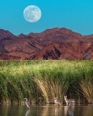 0619 IMG_6033 (JRmanNn) Tags: lasvegas moonrise coyotes duckcreek
