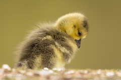 Todays series - About to nod off 2 of 3 710_9532.jpg (Mobile Lynn) Tags: wild england bird nature birds fauna geese unitedkingdom wildlife lakes goose gosling waterfowl ponds canadagoose canadageese freshwater estuaries marshes lagoons webbedfeet anseriformes fritham