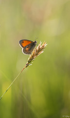 Fadet (f.ray35) Tags: green grass butterfly bokeh vert papillon contrejour insecte sigma105 exterieur