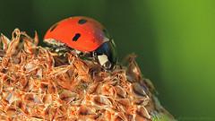 Ladybug on top (photo.durantis.eu Bernd Ackermann) Tags: macro makro cvennes cevennen durantis photodurantiseu