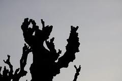 baum himmel muster (1) (fdfotografie) Tags: silhouette beige flora ast outdoor pflanze himmel grau tageslicht dslr ste baum muster schwarz abstrakt gegenlicht ausschnitt platane strukturen schattenriss farbfoto querformat beschnitten d5000 schwarzweiseffekt