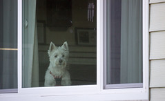 Wanting to go outside. (Quetzalcoalt0) Tags: white dog window behind ears interest house