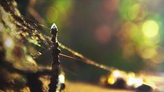 Natures Jewlery (Filidea) Tags: light sunset nature closeup germany deutschland shiny colorful sonnenuntergang bokeh spiderweb bunt nahaufnahme mecklenburgvorpommern farbenfroh spinnweben sttigung schneslicht naturestreasures nikond7100