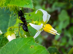 ant and flower (shammisharmin) Tags: whiteflower ant beautyofflower