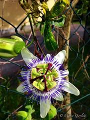 Passiflora coerulea (passion flower) (Marco Giroletti) Tags: flowers light sky plants sun flower nature leaves leaf milano passiflora