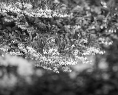 Branches (lclower19) Tags: flowers bw white black tree bristol flora branch bokeh rhodeisland blithewold hmbt