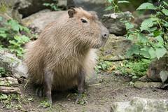 2016-06-27-11h03m51.BL7R2685 (A.J. Haverkamp) Tags: canonef100400mmf4556lisiiusmlens rhenen zoo dierentuin thenetherlands httpwwwouwehandnl ouwehandsdierenparkrhenen capybara