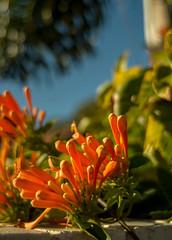 Basking Flame Vine (OzzRod) Tags: flowers orange plants closeup pentax sydney mosman k50 flamevine autotakumar35mmf23 pentaxsingleinjune2016