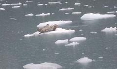 cep-dsc_0464-e1467187805786 (honeyGwhiz) Tags: alaska glaciers princewilliamsound fjord floatingice miniicebergs