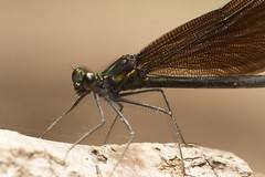 _MG_5232 (sbirmingham) Tags: macro nature animals closeup insect wildlife damselfly