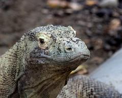 Komodo Dragon (jmaxtours) Tags: toronto zoo dragon torontozoo komodo komododragon torontoontario