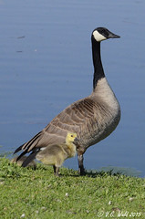 Lke mother like child; gosling and goose (V.C. Wald) Tags: goslings canadagoose brantacanadensis bozemanmontana