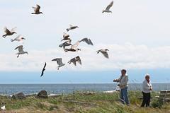Sharing their lunch (KaseyEriksen) Tags: ocean sea seagulls beach birds gulls lagoon victoria sharing esquimalt flickrfriday