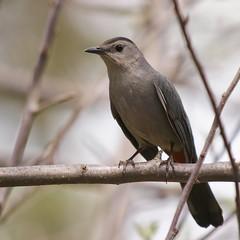 Gray Catbird, Gisland Farm (Bill Bunn) Tags: maine falmouth graycatbird