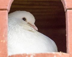 Relaxing (Bev Goodwin) Tags: portrait white dove dovecot whitedove tamron18200mm ricelanecityfarm sonya6000