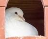 Relaxing (Bev Goodwin) Tags: portrait white dove dovecot whitedove tamron18200mm ricelanecityfarm sonya6000