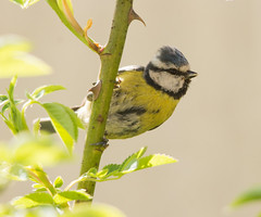 Scruffy Nesting Blue Tit #3 (PontyCyclops) Tags: blue nature garden back spring tit nest feeding box fledgling scruffy nesting 2015 fledging