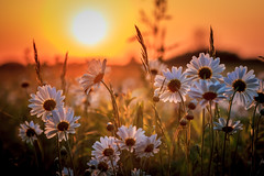 Prairie Sunset Flowers (Mike M Martin) Tags: flowers sunset chicago canon golden illinois 85mm daisy prairie naperville springbrook widlflower