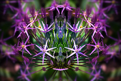 Assimilated 2 (Tau Zero) Tags: flower allium digitalmirror zombieflower
