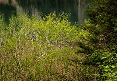 Young Vine Maples (rich trinter photos) Tags: landscape washington spring mountainlake mountainloophighway laketwentytwo vinemaples