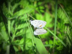 Eastern Tailed-blues Mating (Trish Overton) Tags: butterfly butterflies mating easterntailedblue easterntailedblues