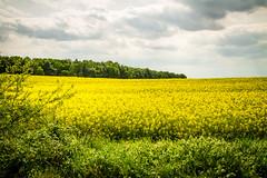 Klein Zecher 14.jpg (vossemer) Tags: de deutschland natur pflanzen felder wolken raps wetter schleswigholstein landschaften blten kleinzecher