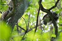 _DX_4482web (Marra_Photography) Tags: park bird birds canon river james wildlife richmond system raptor owl richmondva birdsofprey rva barred jamesriver canonphotography jrps vabird eos1dxmarkii 1dxmii wildlifeva