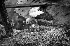 Stork nesting - I (Theunis Viljoen LRPS) Tags: zoo poland krakow stork nesting