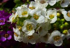 Alyssum (Durley Beachbum) Tags: flowers may alyssum 100flowers35