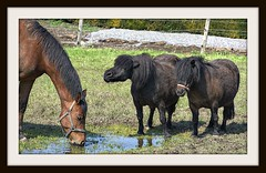 They're talking about...... (patrick.verstappen) Tags: horse animals photo yahoo spring flickr belgium pat sigma lovely neighbours facebook picassa ipernity d7100 pinterest ipiccy picmonkey