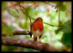 (karin_b1966) Tags: bird nature robin animal garden natur garten tier vogel rotkehlchen 2016 yourbestoftoday