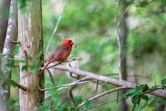 Cardinal 2016 01 (Jim Dollar) Tags: sc birds cardinal southcarolina indianland jimdollar canon6d
