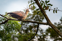 Amazon rain forest Peru - Hoatzin (arthur.harrow) Tags: amazonbasin riomadrededios puertomoldonado rainforest hoatzin southamerica haciendaconception bird peru inkaterra