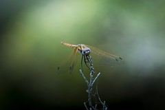 King Dragonfly (Fredrik Hjalmarsson) Tags: color outdoor wildlife rhodos