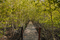 Walkway with wooden bridge (Chanapai Limsuwankesorn) Tags: park wood travel plant tree green tourism nature forest way landscape thailand bright path deep trail mangrove walkway jungle swamp tropical environment root eco