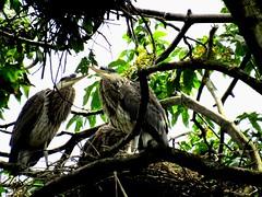 Herons Nesting (www.metaphoricalplatypus.com) Tags: trees nature birds animals wildlife herons nests