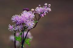 enjoy the day - geniesse den Tag (Knarfs1) Tags: flower fleur garden purple bokeh natur jardin blume blte garten