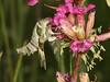 Proserpinus proserpina (terraincognita96) Tags: germany north sphingidae oberhausen proserpina rhinewestphalia proserpinus
