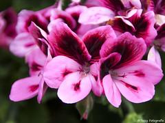Nice colors (nvp74) Tags: flowers nature colors canon outside flora natuur tamron bloemen kleuren tassyfotografie