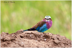 The Lilac Beauty! (MAC's Wild Pixels) Tags: kenya ngc npc roller wildanimal birdwatcher lilacbreastedroller wildbird beautifulbird colourfulbird wildafrica lilacbeauty birdsofeastafrica maasaimaragamereserve thelilacbeauty macswildpixels