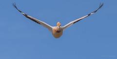 Majestic (PasiKaunisto) Tags: california bird nature birds flying wildlife sfbayarea wildlifephotography