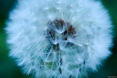 dandelion seeds (March Hare1145) Tags: macro seed dandelion