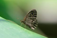 ND8_4370 (uci115) Tags: nature les taiwan papillon formosa  mariposa  nymphalidae satyrinae   nikond810 satyrid satyrine sigmaapomacro180mmf28exdgoshsm