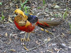 Exotic (Alan Wiltcher) Tags: bird abbey gardens gold colours pheasant vibrant exotic oriental scilly tresco aperturewoolwich