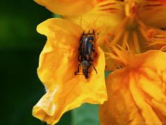 (ilaro01) Tags: bug insect pollen flower orange yellow petals plant macro closeup outdoor tiny