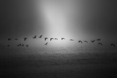 birds (Larson.patrik) Tags: light sea bw cloud white black bird water birds animals contrast fly sweden calm blacknwhite vrmland sunne