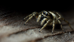 Hiding Zebra spider (Andyfrog321) Tags: hairy macro cute nature bug spider jumping bokeh small 100mm tiny zebra 28l smallcreature salticus scenicus salticidae